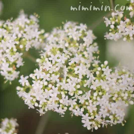 オトコエシ(男郎花)の花の写真