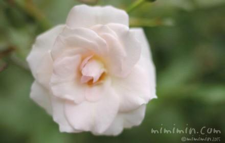 薄いピンクがかった白バラの花の画像