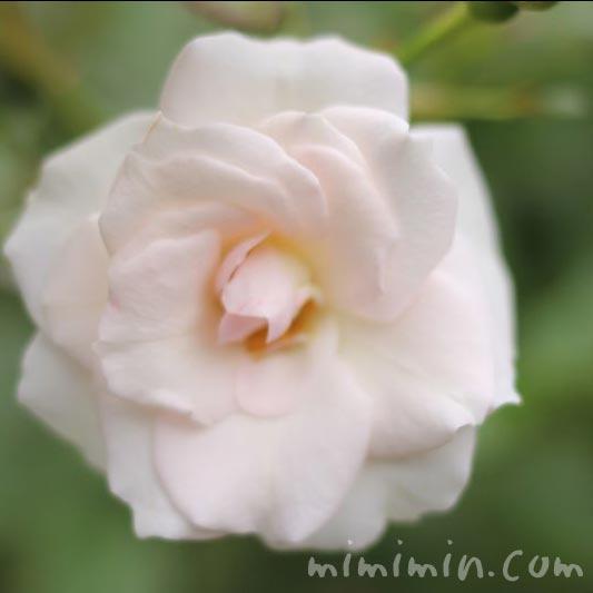 薄いピンクがかった白バラの写真