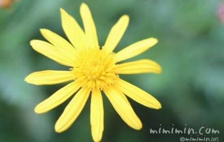 マーガレットコスモスの花の写真