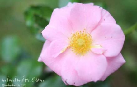 一重咲きのバラのの写真
