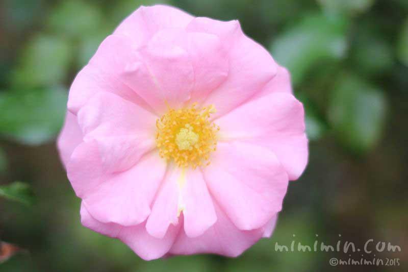 一重咲きのバラ(薄ピンク)の写真