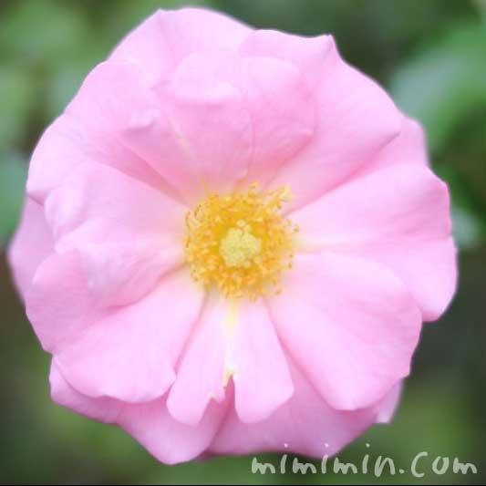 一重咲きのバラの花(薄ピンク)の写真