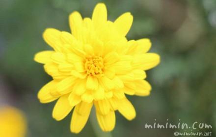 ユリオプスデージーの花(八重咲き)の写真