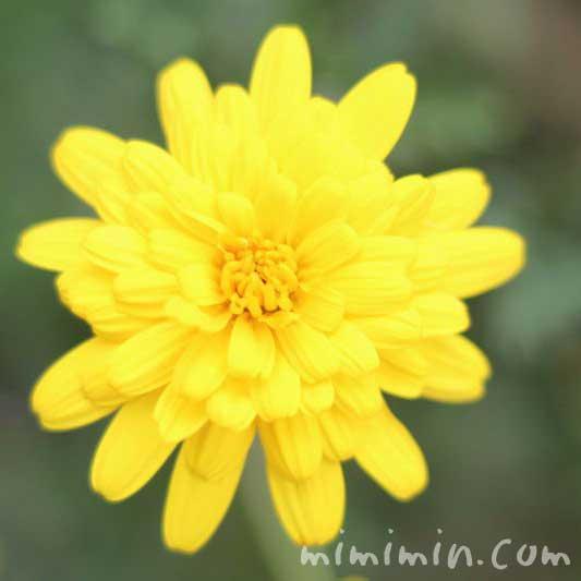 ユリオプスデージー(八重咲き)の写真