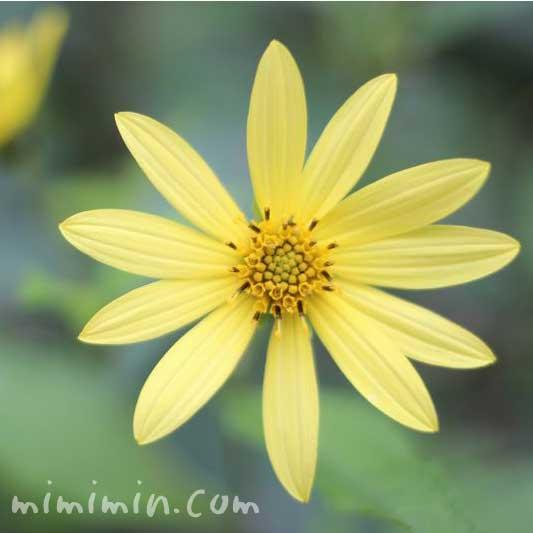 キクイモ(菊芋)の花の画像