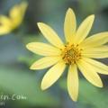 キクイモ(菊芋)の写真