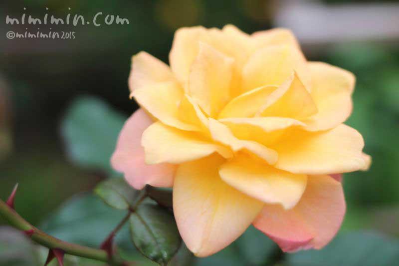 黄色の薔薇(バラ)の写真