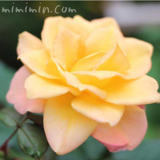 黄色の薔薇(バラ)の花の写真