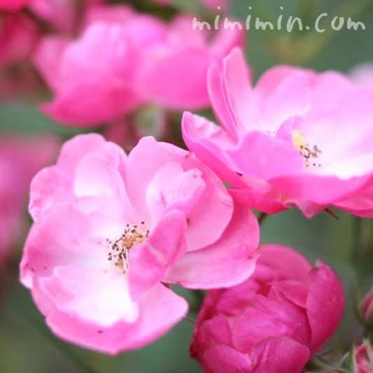 バラ(アンジェラ)の花の画像