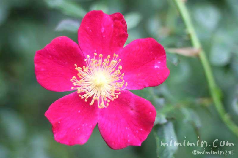 赤いバラの花(一重咲き)の画像