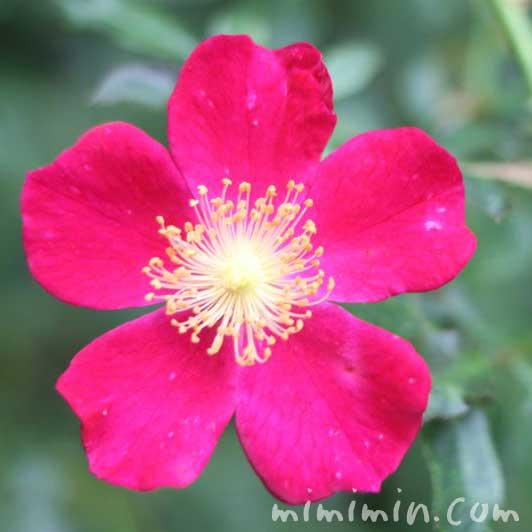 一重咲きの赤いバラの写真