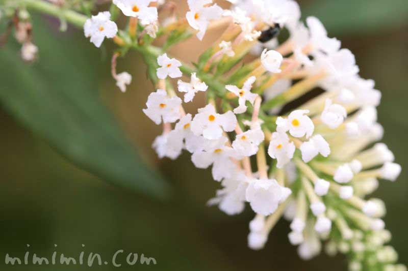 白いブッドレアの花の写真
