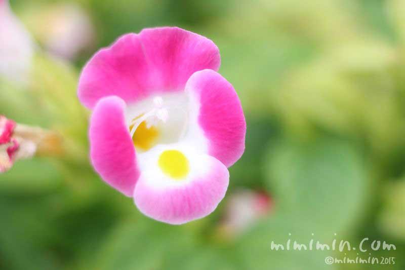 ピンク色のトレニアの花の写真