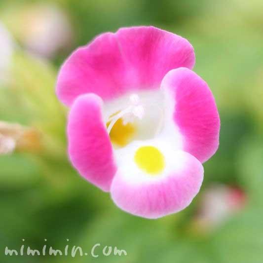ピンク色のトレニアの写真