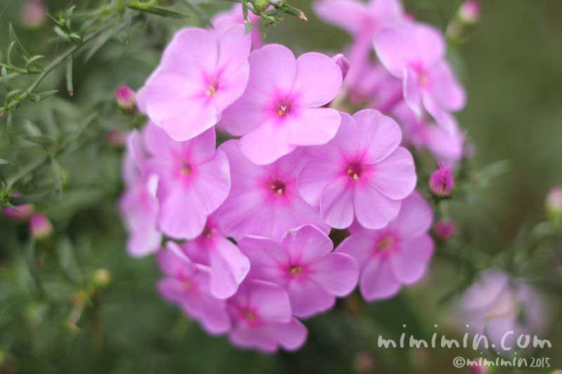 ピンク色のフロックスの花の写真