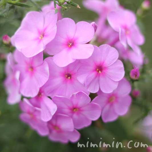 ピンク色のフロックスの写真