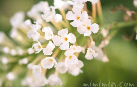 ブッドレアの花・白の写真