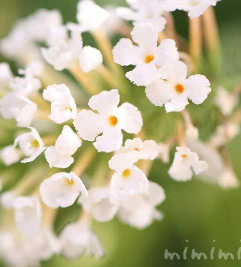 ブッドレアの花言葉・別名・名前の由来・特徴・花の写真