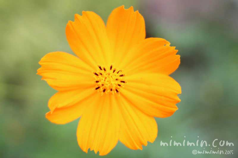 キバナコスモスの花(オレンジ色)の写真