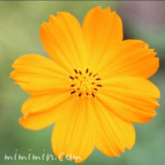 キバナコスモス(オレンジ色)の写真