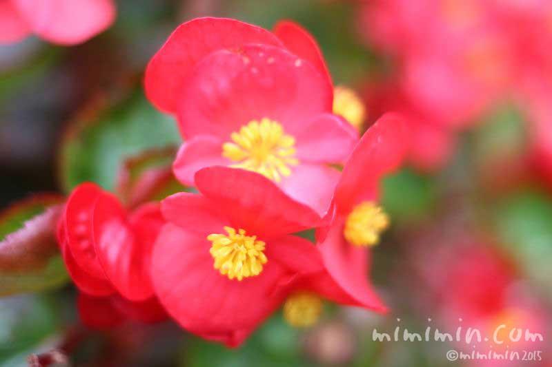 ベゴニアの花(赤)の写真