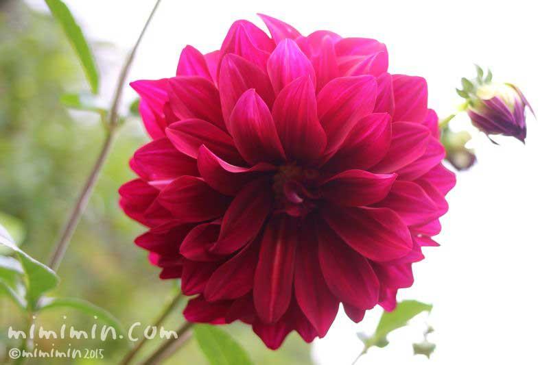 ダリア(花言葉と由来)の画像
