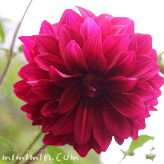 ダリアの花(花言葉と由来)の写真