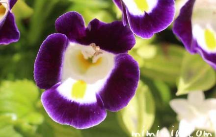 トレニアの花の写真