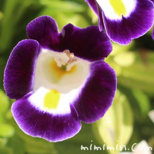 トレニア(紫)の画像
