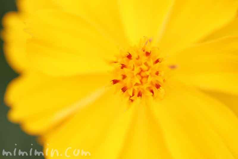 キバナコスモスの写真 花言葉