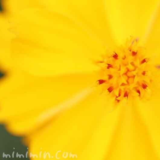 キバナコスモスの花の写真と花言葉の画像