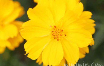 キバナコスモスの花の写真 花言葉