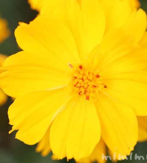 キバナコスモスの花言葉&花の写真