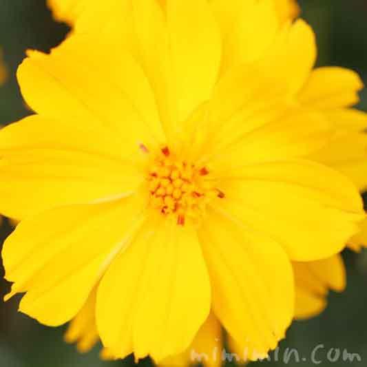 キバナコスモスの写真と花言葉の画像