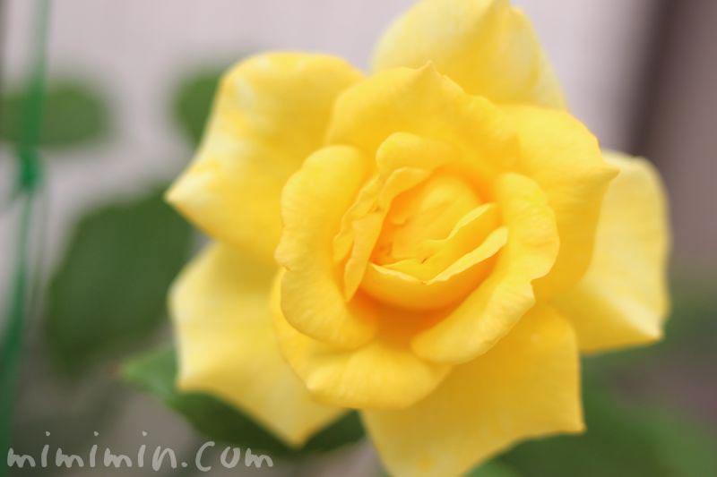 バラの花・黄色の画像
