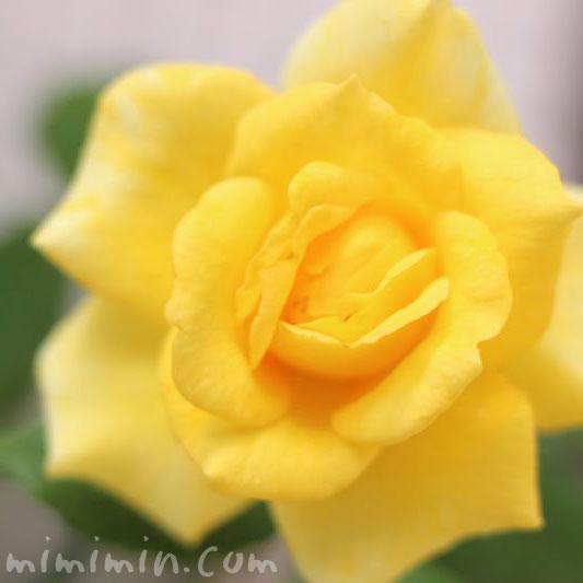バラ・黄色の画像