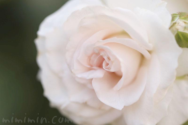 薄いピンク色のバラの花の写真と花言葉