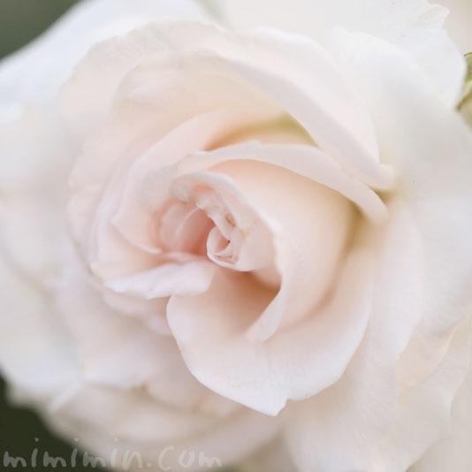 淡いピンク色のバラの写真 花言葉の画像