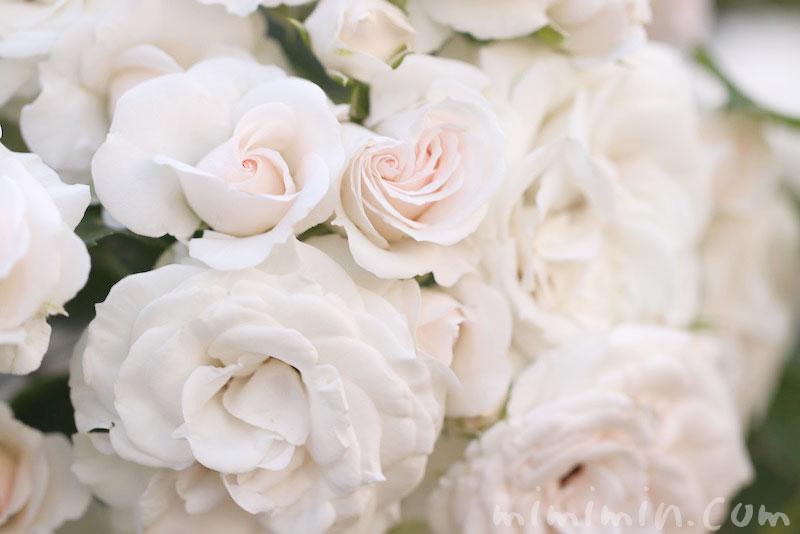 薄いピンク色のバラの花の写真 花言葉のガズ