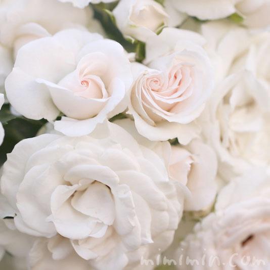 淡いピンク色のバラの花の写真 花言葉