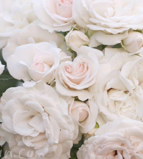 薄いピンク色のバラの写真&花言葉