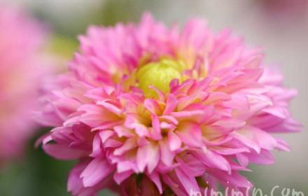ピンク色のダリアの画像