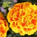 マリーゴールド・赤✕黄の画像
