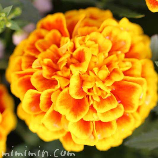 マリーゴールドの花・赤✕黄の写真