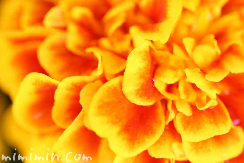 黄色✕赤のマリーゴールドの画像
