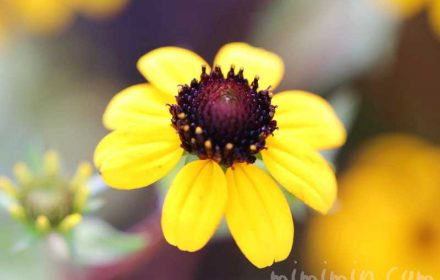 サンビタリア(ジャノメギク)の写真 花言葉の画像