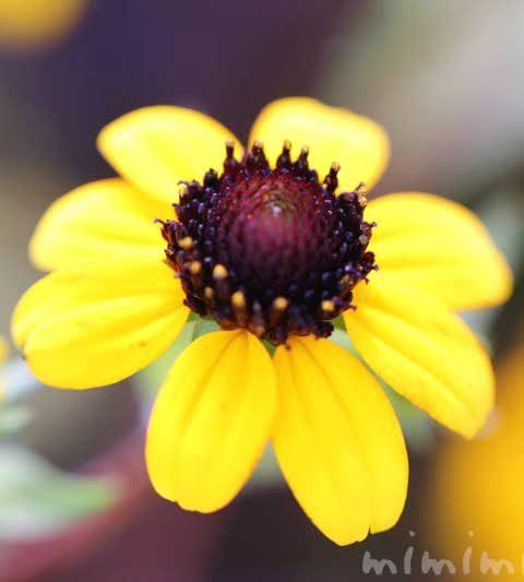サンビタリアの花言葉・名前の由来・花の写真