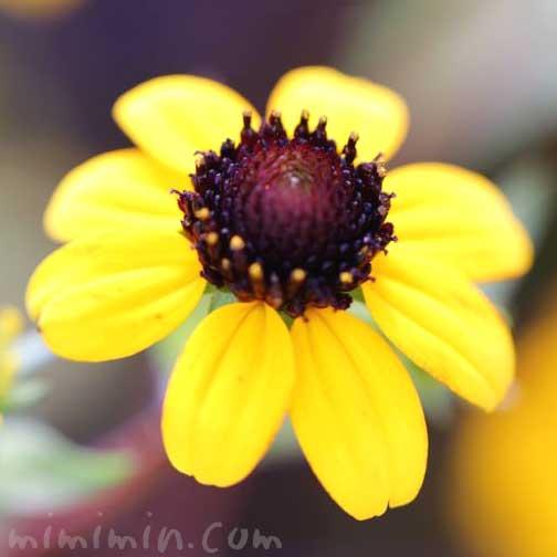サンビタリアの花の写真と花言葉の画像