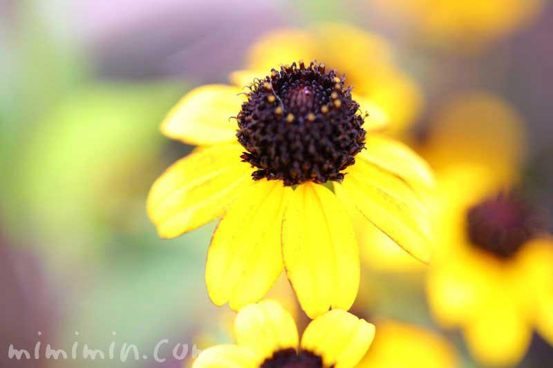 サンビタリアの写真と花言葉の画像